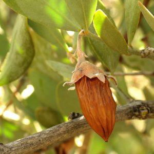 Pianta di Simmondsia Chinensis (Jojoba)