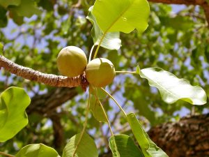 Albero di Vitellaria paradoxa con i frutti dai quali si ricava il burro di karitè