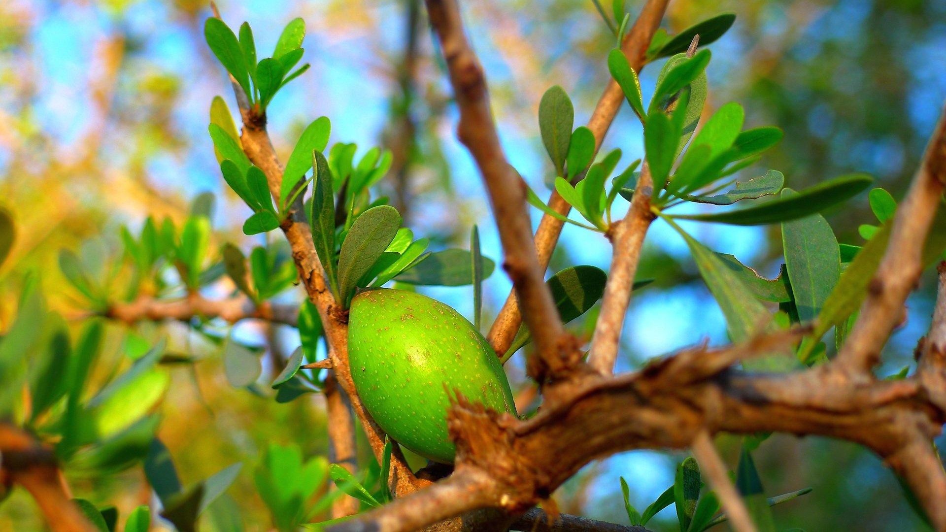 Albero di argan con frutti