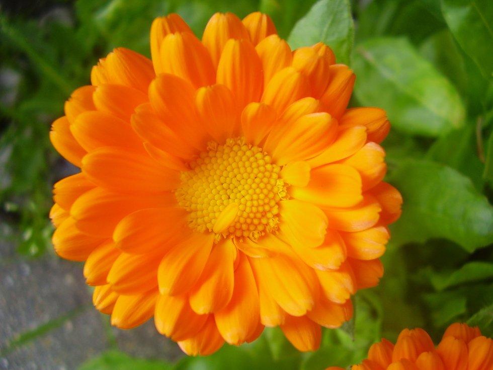 Fiore calendula officinalis