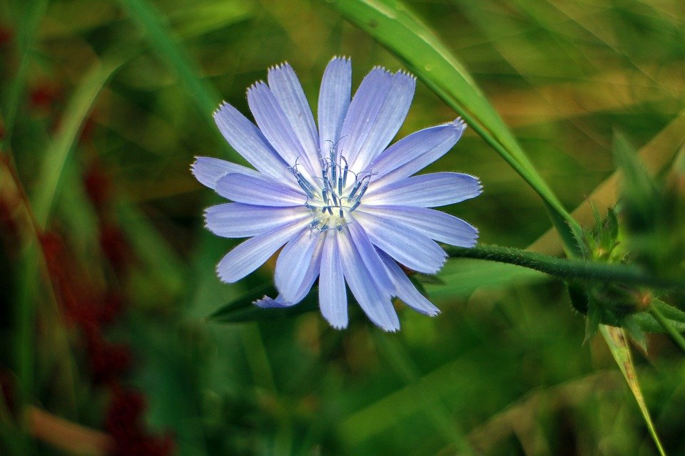 Fiore di cicoria viola