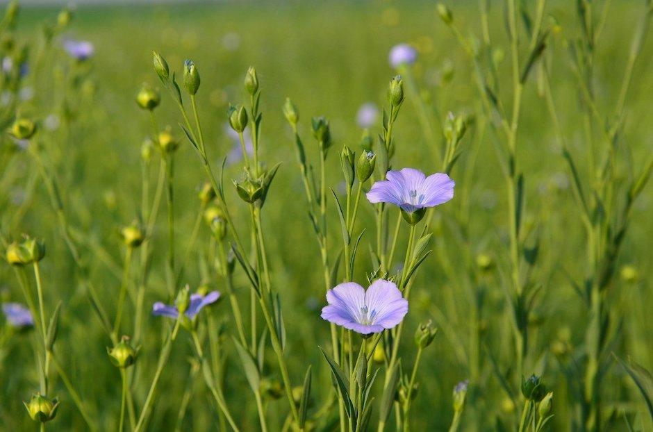 Pianta di lino fiorita