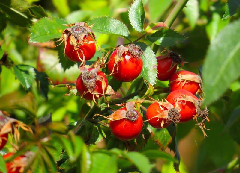 Arbusto di rosa mosqueta con le bacche