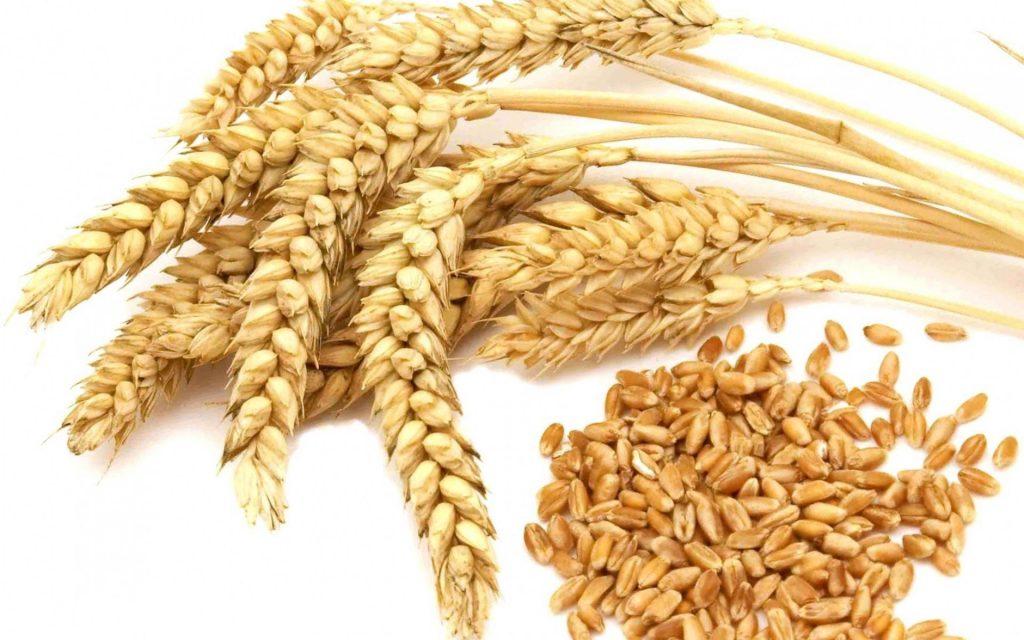 Spighe e germe di grano o frumento o triticum naturale e biologico