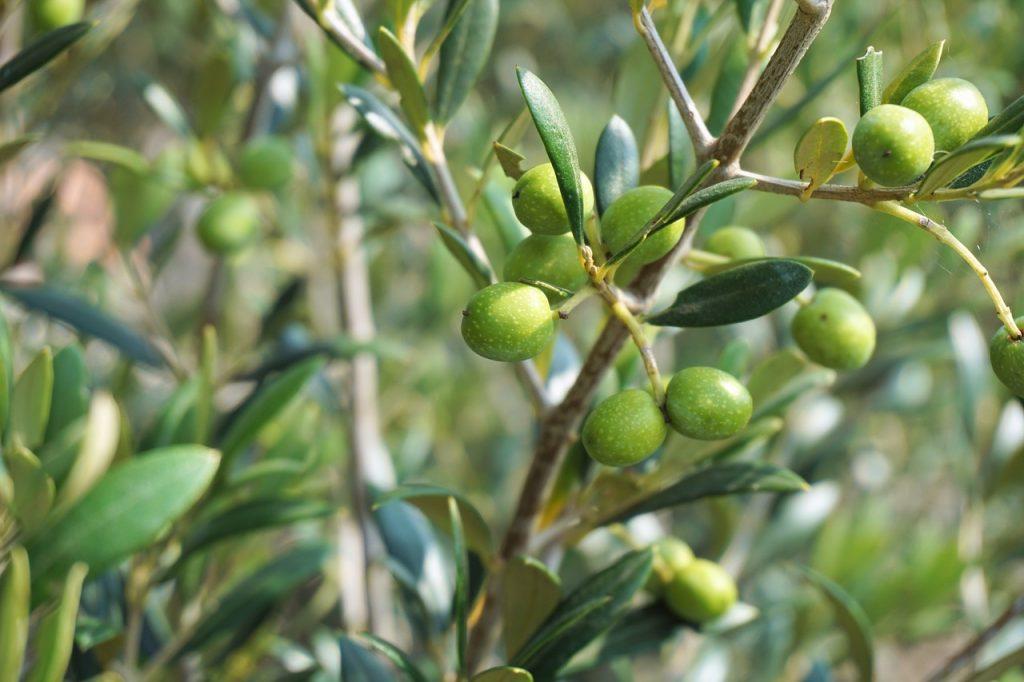 Albero di ulivo con olive verdi