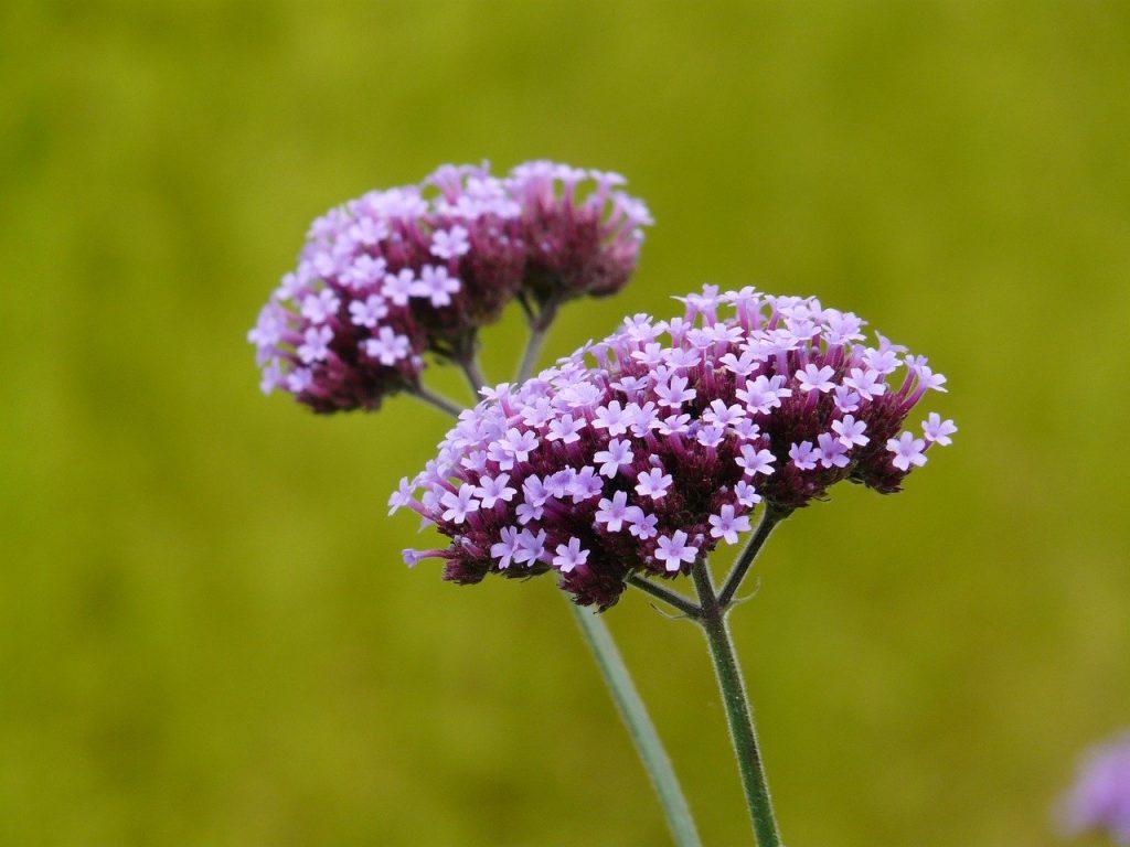 Verbena Officinalis pianta con fiore
